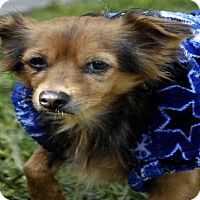 Chihuahua Dog for adoption in Long Beach, California - *BUSTER