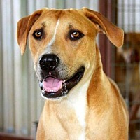 Pit Bull Terrier Mix Dog for adoption in Clifton, Texas - Tom Sawyer