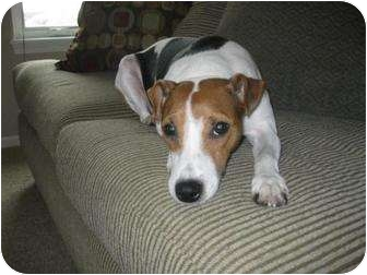 Jack Russell Terrier Dog for adoption in Omaha, Nebraska - Tucker