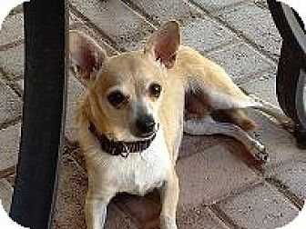Chihuahua Mix Dog for adoption in Mesa, Arizona - Miss Lily