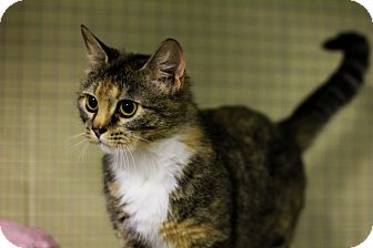 Domestic Shorthair Cat for adoption in Mission, British Columbia - Sammy