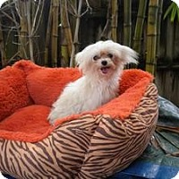 Adopt A Pet :: Ivy - Fort Lauderdale, FL