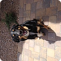Adopt A Pet :: Sydney **Courtesy Post** - Phoenix, AZ