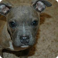 Adopt A Pet :: Gizmo - Parker, CO