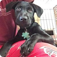 Adopt A Pet :: Josslyn - Alpharetta, GA