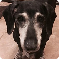 Dachshund Dog for adoption in Humble, Texas - Cleopatra
