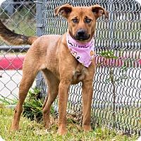 Adopt A Pet :: Daisy Ridley - Jersey City, NJ