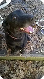 Labrador Retriever Dog for adoption in Austin, Texas - Elmo