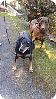 Doberman Pinscher Dog for adoption in Vancouver, British Columbia - Sasha & Sanjay