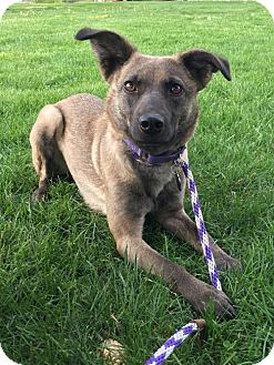 Belgian Shepherd Mix Dog for adoption in Jarrettsville, Maryland - Godiva
