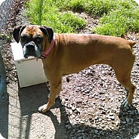 Boxer Dog for adoption in Winchester, Virginia - Beatrix