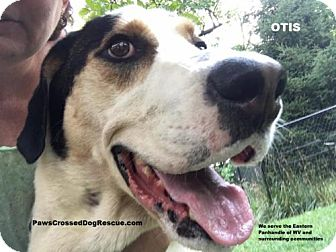 Great Dane/Treeing Walker Coonhound Mix Dog for adoption in Hedgesville, West Virginia - Otis