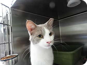 Domestic Shorthair Cat for adoption in Elyria, Ohio - Bongo