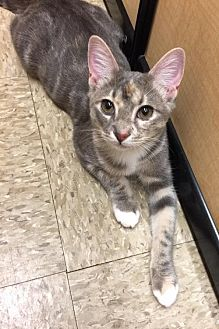 Domestic Shorthair Cat for adoption in Atlanta, Georgia - Fifty