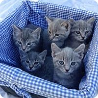 Adopt A Pet :: Grey Tabby Kitties - Mission Viejo, CA