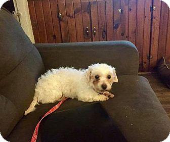 Coton de Tulear Dog for adoption in ROME, New York - Victoria