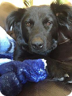 Border Collie/Australian Shepherd Mix Dog for adoption in Fargo, North Dakota - Brooklyn