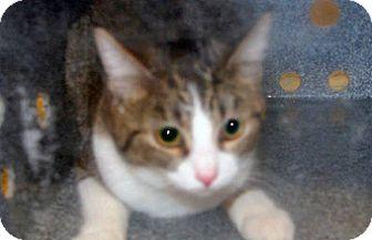 Domestic Mediumhair Cat for adoption in Wildomar, California - Felicia