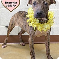 Adopt A Pet :: Brownie - Orleans, VT