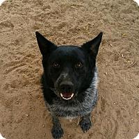 Adopt A Pet :: Harley - Albuquerque, NM