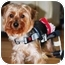 Photo 3 - Yorkie, Yorkshire Terrier Dog for adoption in Commerce TWP, Michigan - HONEY/SPEC NEEDS