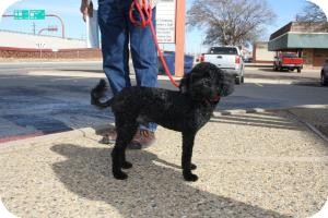 Poodle (Standard) Mix Dog for adoption in Post, Texas - Claude