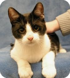 Domestic Shorthair Cat for adoption in Sacramento, California - Eric