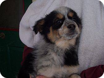 Blue Heeler Mix Puppy for adoption in Germantown, Maryland - Magla