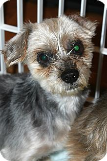 Yorkie, Yorkshire Terrier Dog for adoption in Sinking Spring, Pennsylvania - Oliver
