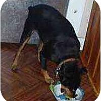 Adopt A Pet :: Ike - Florissant, MO