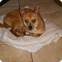 Adopt A Pet :: VINNY - Raleigh, NC