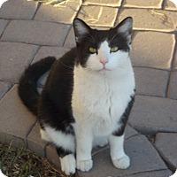 Domestic Shorthair Cat for adoption in Mesa, Arizona - Mac