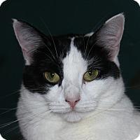 Adopt A Pet :: Sugar Cookie - North Branford, CT