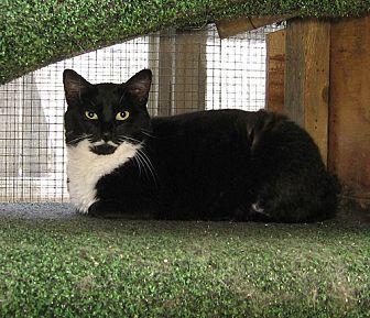 Domestic Shorthair Cat for adoption in Chicago, Illinois - Got Milk