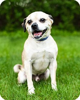 Pug/Beagle Mix Dog for adoption in Shakopee, Minnesota - Chevy the Pug D1699