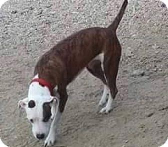 Boxer Mix Dog for adoption in Tucson, Arizona - Antics