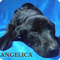 Adopt A Pet :: Angelica - Batesville, AR