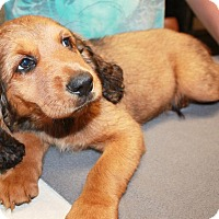 Adopt A Pet :: Gambit - Sparta, NJ