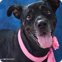 Rottweiler Mix Dog for adoption in Miami, Florida - Coral