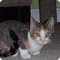Adopt A Pet :: Tucker Girl Kittens - Fairfax, VA