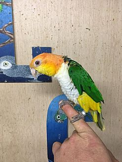 Caique for adoption in Woodbridge, New Jersey - Peepers
