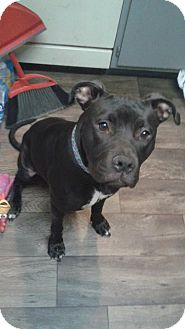 Pit Bull Terrier Mix Dog for adoption in Las Vegas, Nevada - Maleficent