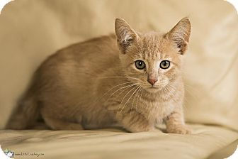 Domestic Shorthair Kitten for adoption in Manhattan, Kansas - Oliver