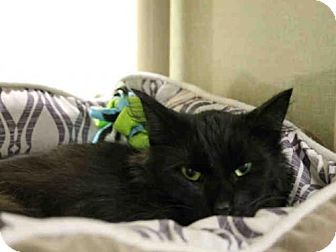 Domestic Mediumhair Cat for adoption in Scotia, New York - SHIVY