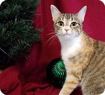 Domestic Shorthair Cat for adoption in Colfax, Iowa - Faith