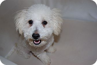 Blossom Adopted Puppy Los Angeles Ca Bichon Frise Poodle Miniature Mix