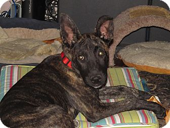 Shepherd (Unknown Type)/Labrador Retriever Mix Dog for adoption in Burbank, California - Jessica - Great with dogs
