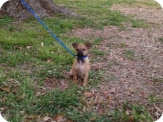 Chihuahua Mix Puppy for adoption in Houston, Texas - Matt