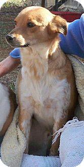 Sheltie, Shetland Sheepdog Mix Dog for adoption in Bedford, Virginia - Laddy