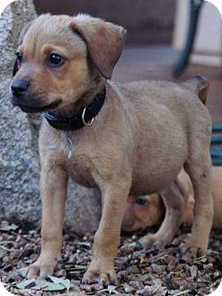 Labrador Retriever/Terrier (Unknown Type, Medium) Mix Puppy for adoption in Phoenix, Arizona - Tanya